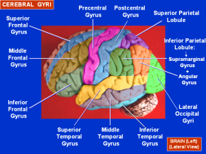 Cerebral_Gyri_-_Lateral_Surface