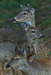 220px-NC_Deer