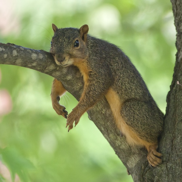 fox_squirrel_110528_4998